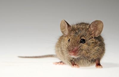 Atemberaubend Mäuse - Hausmaus Bekämpfung Infos / Wibo Schädlingsbekämpfung #IH_28